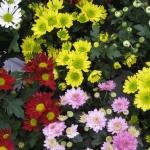 chrizantemos-geltonos-baltos-raudonos